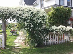 front_arbor_clematis_bloom