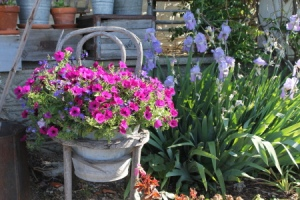 Putting an established hanging basket in a pot, nestled in the seat of a chair!