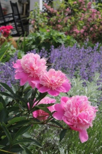 Peonies and Russian sage blooming in my gardens right now...