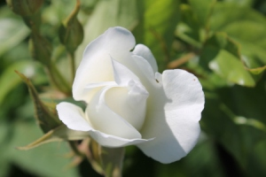 """White Rose Bud"", by Jean Smith"